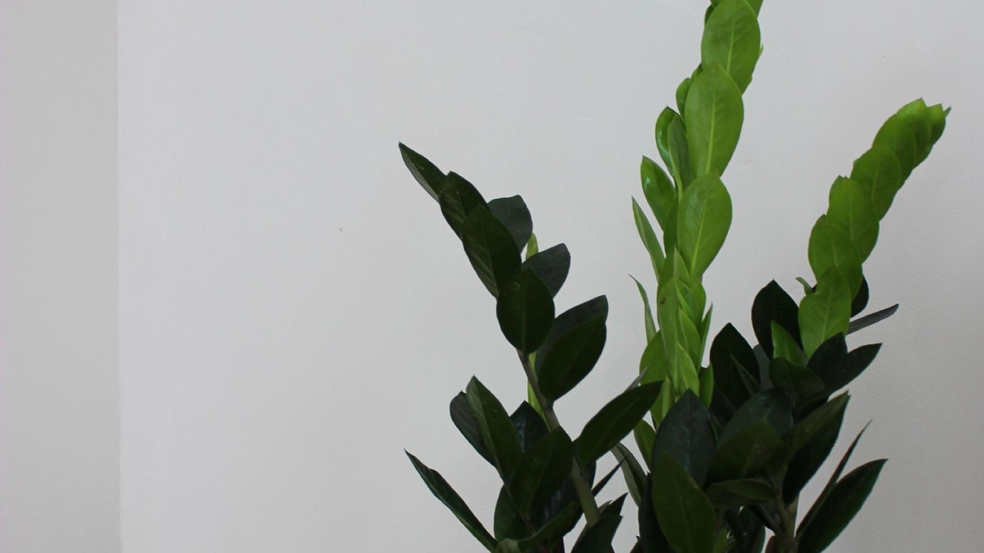 大きな観葉植物と白い壁