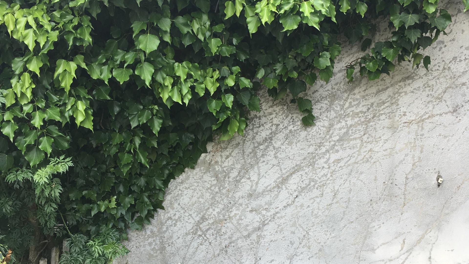 緑の蔦とグレーのコンクリート壁