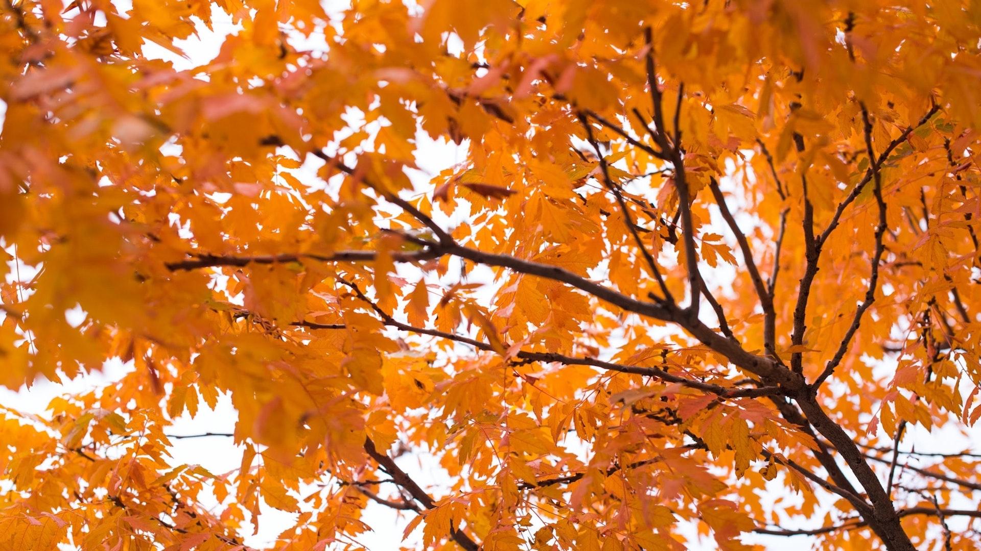 オレンジに紅葉する木