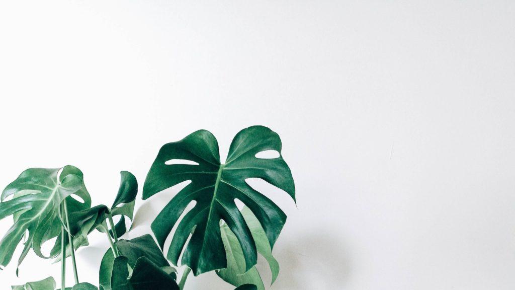 白い壁とモンステラ(観葉植物)